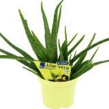 Aloe Vera Pflanze kaufen - Barbadensis Miller