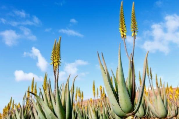 Aloe Vera Pflanze als Heilpflanze