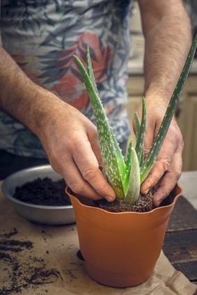 Ich rate Ihnen sich einen Aloe Vera Pflanze zu kaufen